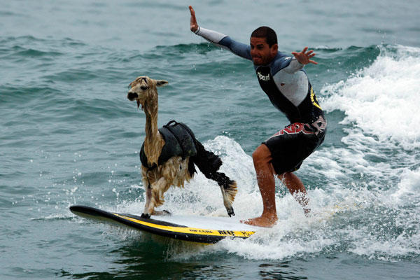 Alpaca Surfing - Click To View Image